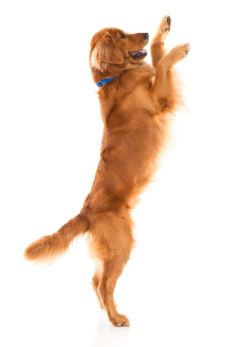 Opspringende hond