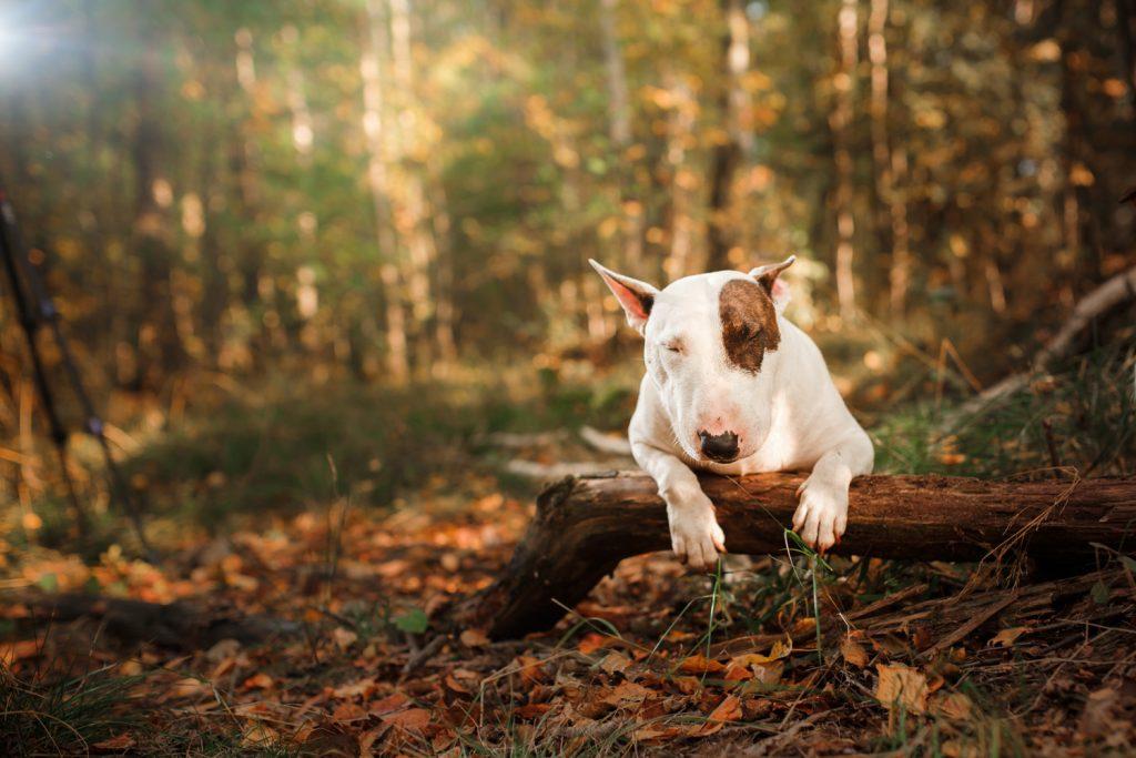 gevaarlijke rottweil dogs