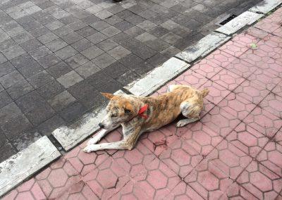 Balinese hond observeert mensen - Kwispeltherapie