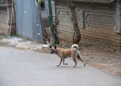 Balinese hond loopt op straat - Kwispeltherapie