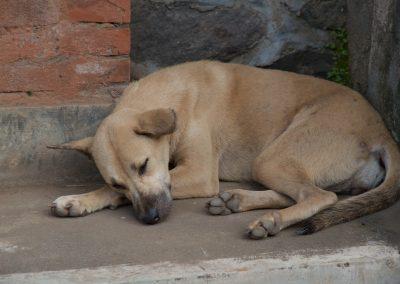 Balinese hond slaapt - Kwispeltherapie