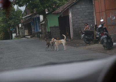 Balinese honden maken kennis - Kwispeltherapie