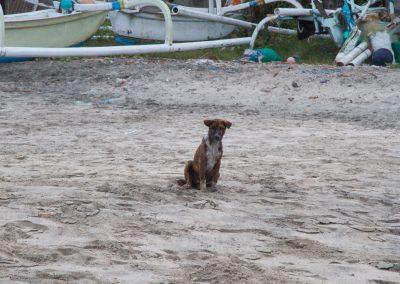 Balinese hond op white sand beach - Kwispeltherapie