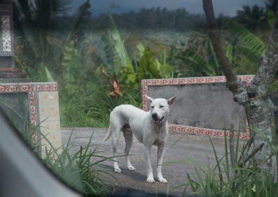 Balinese hond aan het waken - Kwispeltherapie