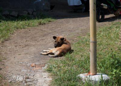 Balinese hond aan het chillen - Kwispeltherapie