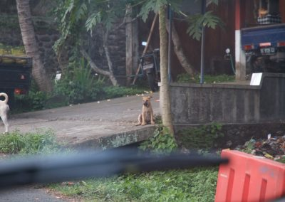 Balinese pup - Kwispeltherapie