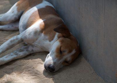Balinese hond geniet van het zonnetje - Kwispeltherapie
