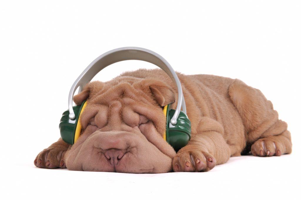 Sharpei ontspant zich met muziek - Kwispeltherapie