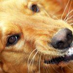 Grommende hond groot - Kwispeltherapie
